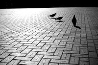 Birds on the Bricks