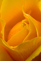 Yellow Rose (About Face)