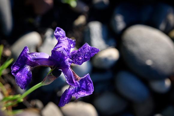 Iris at Lake Nike